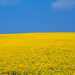 Oilseed rape (Brassica napus) crop in a field
