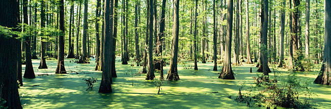 Cypress trees in a forest, Shawnee National Forest, Illinois, USA