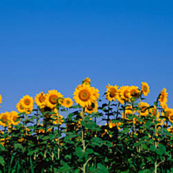 Sunflowers in a field, Marion County, Illinois, USA (Helianthus annuus)