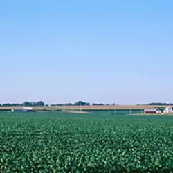 Soybean field Ogle Co IL USA
