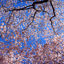 Low angle view of cherry blossom trees, Washington State, USA