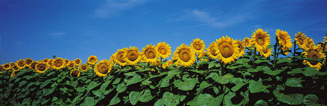 Field Of Sunflowers, Bogue, Kansas, USA
