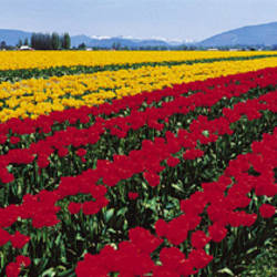 Tulip Field, Mount Vernon, Washington State, USA