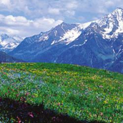 Wildflowers Along Mountainside, Zillertaler, Austria