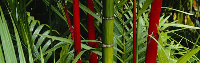Close-up of bamboo trees, Hawaii, USA