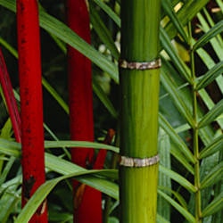 Close-up of bamboo trees, Hawaii, USA