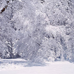 Snow covered trees in a forest, Yosemite National Park, California, USA