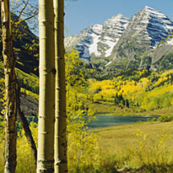 Trees in a forest, Maroon Bells, Colorado, USA