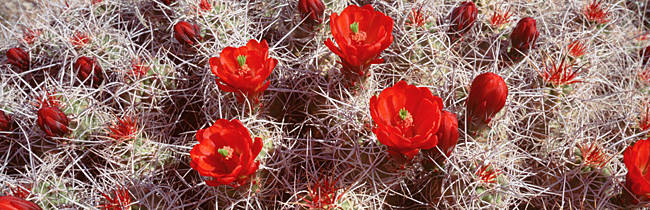 Close-up of cactus flowers, Joshua Tree National Monument, California, USA