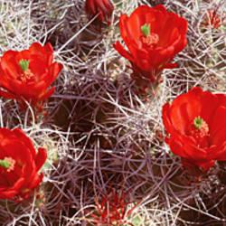 Close-up of cactus flowers, Joshua Tree National Monument, California, USA