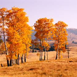 Aspen trees in a row on a landscape, Lamar Valley, Yellowstone National Park, Wyoming, USA