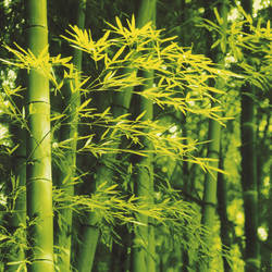 Bamboo in Spring Giant Art Mural Wallpaper: 670