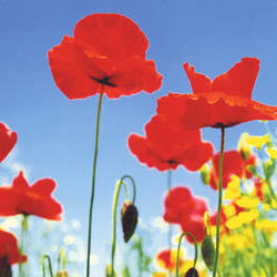 Poppy Field floral mural wallpaper, 4 part: 371