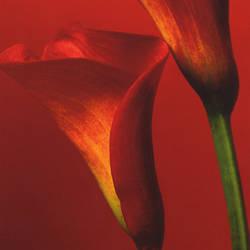 Red Callia Lilies Trompe L'oeil