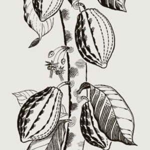Cocoa 89/11043