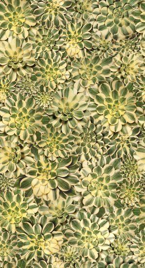 Starburst Succulent