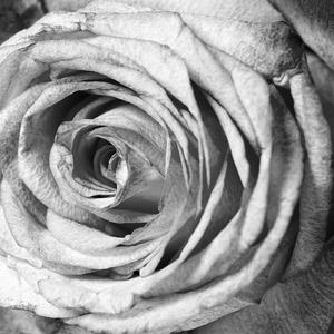 Amethyst Rose - B&W