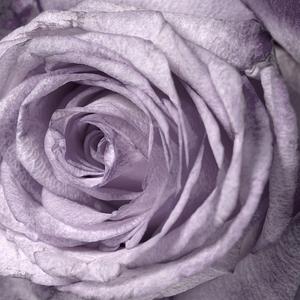 Amethyst Rose