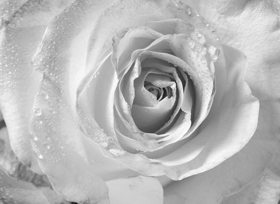Pale Rose - B&W