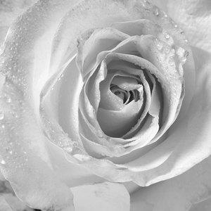 Pale Rose - B&W
