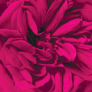 Scalloped Rose