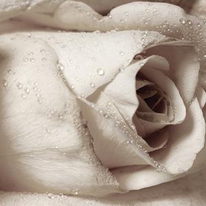Yellow Rose - Sepia